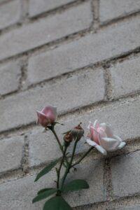 rose in concrete
