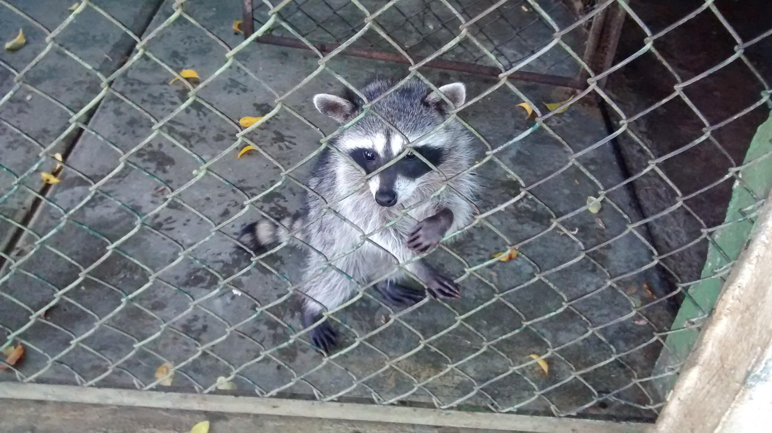 mapache-raccoon